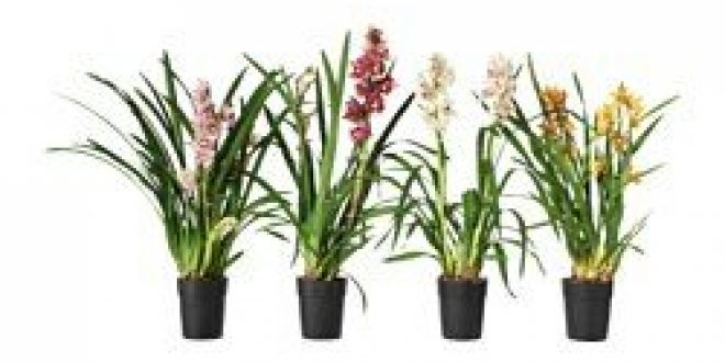Cymbidium pianta da vaso orchidea colori vari ikea italy ikeapedia - Orchidea da esterno cymbidium ...