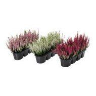 v xtlig plantes en pot pour jardini re bruy re coloris assortis ikea france ikeapedia. Black Bedroom Furniture Sets. Home Design Ideas